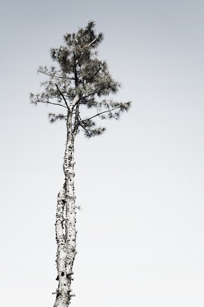 One pine tree