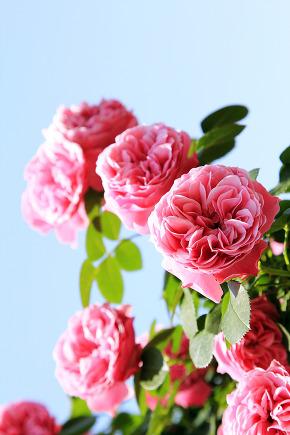 Bucheon million rose garden