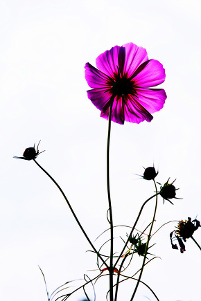 One of the cosmos flowers rising toward the sky