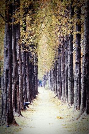 Walking Along a Meta-sequoia Lined Path