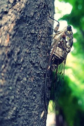 The life of cicada