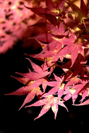 Red maple with autumn