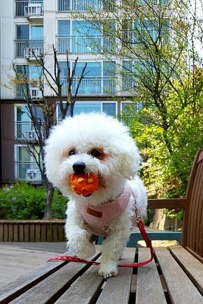 My puppy, Bichon frise