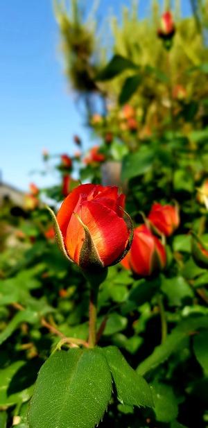 마당에 피고있는 장미꽃