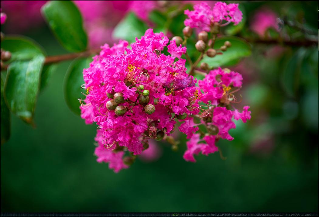꽃 - 84 (가우라, 토레니아. 부추, 도라지, 베고니아, 원추리, 베롱나무)