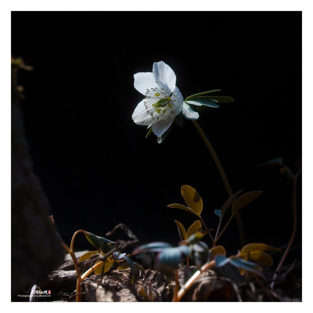 변산 바람꽃