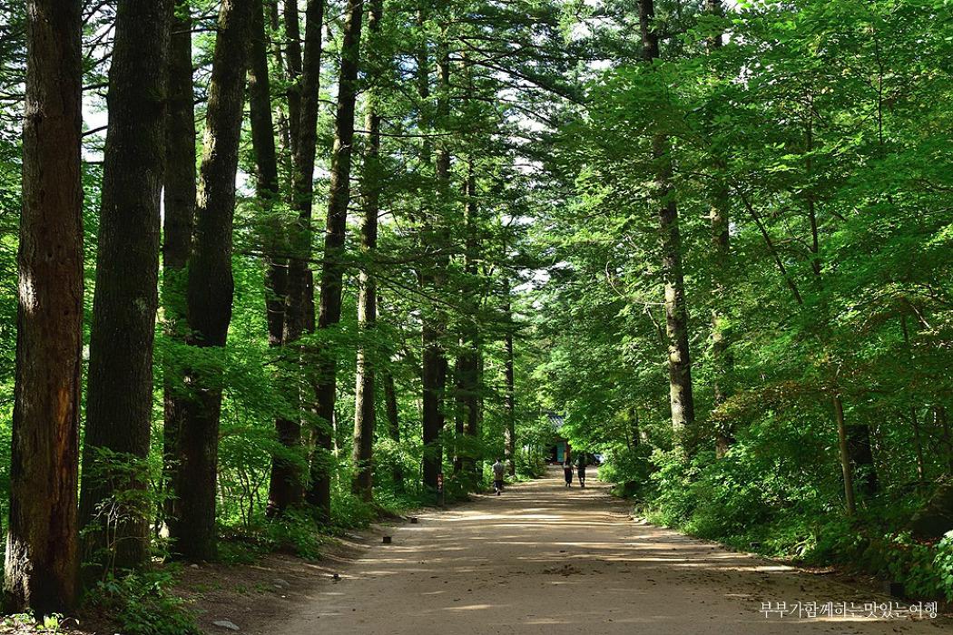 [평창여행] 오대산의 그윽한 향기, 평창 월정사 전나무숲길