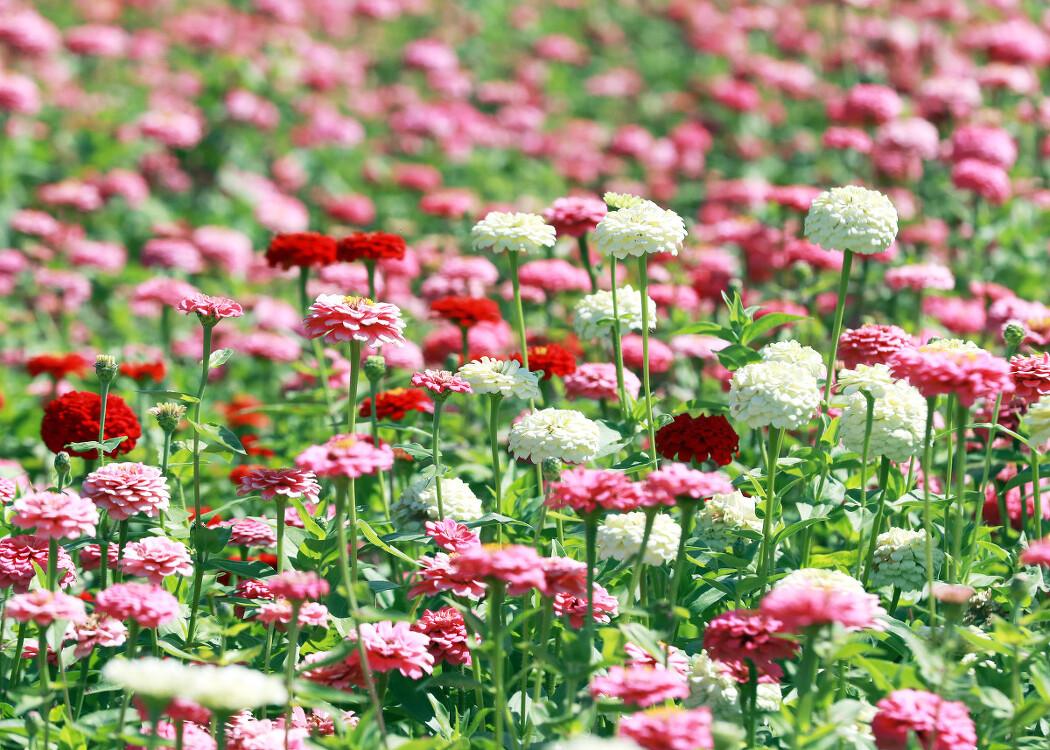 [평창백일홍축제] 나이들면 색을 보는 시야가 좁아진다는데...