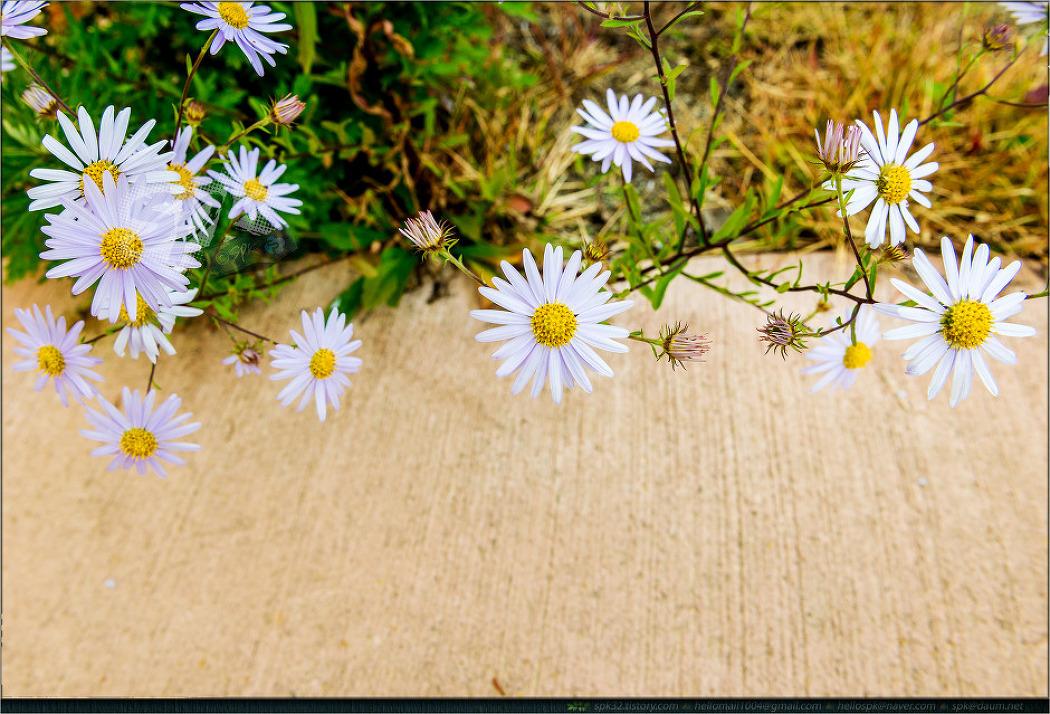 꽃 - 88 (멜람포디움 팔루도숨, 꽃댕강나무, 털머위, 석죽, 달리아 등)