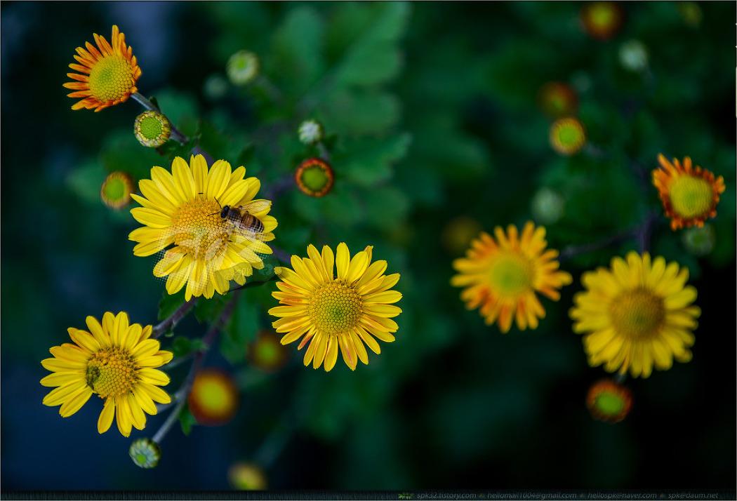 꽃 - 87 (국화과)