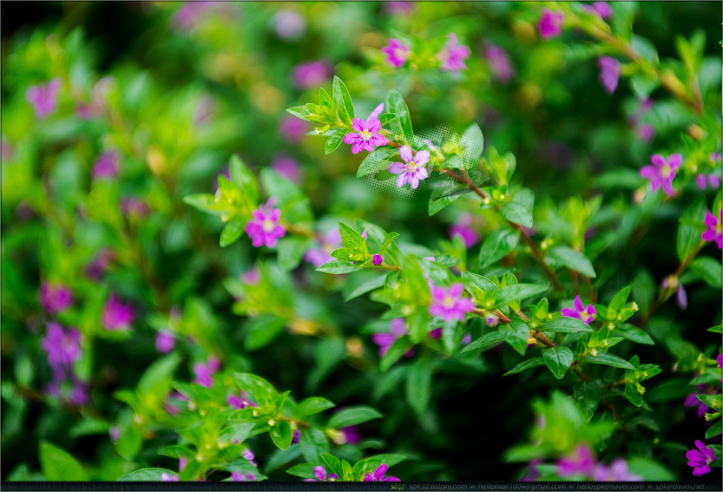 꽃 - 85 (자라풀, 어리연, 쿠페아, 야로우, 해바라기, 층꽃나무)