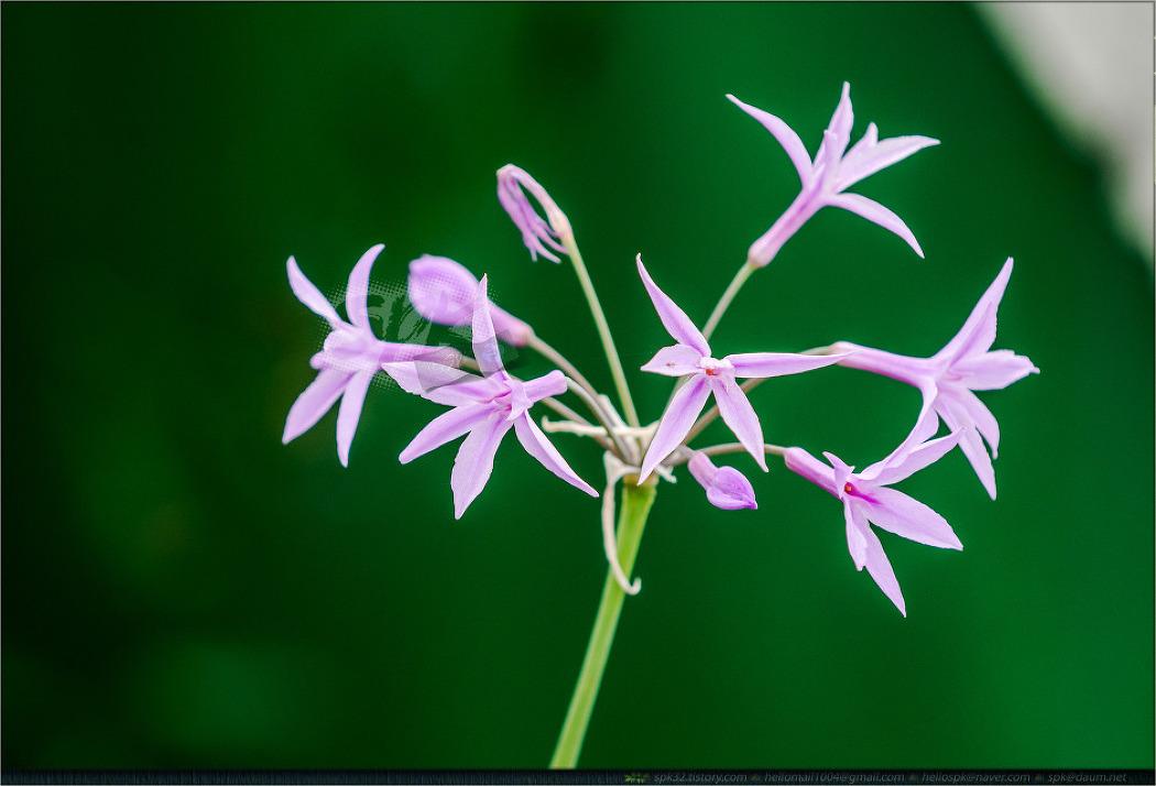 꽃 - 91 (천일홍, 풍접초, 사루비아, 아마란스, 물수선화 등)