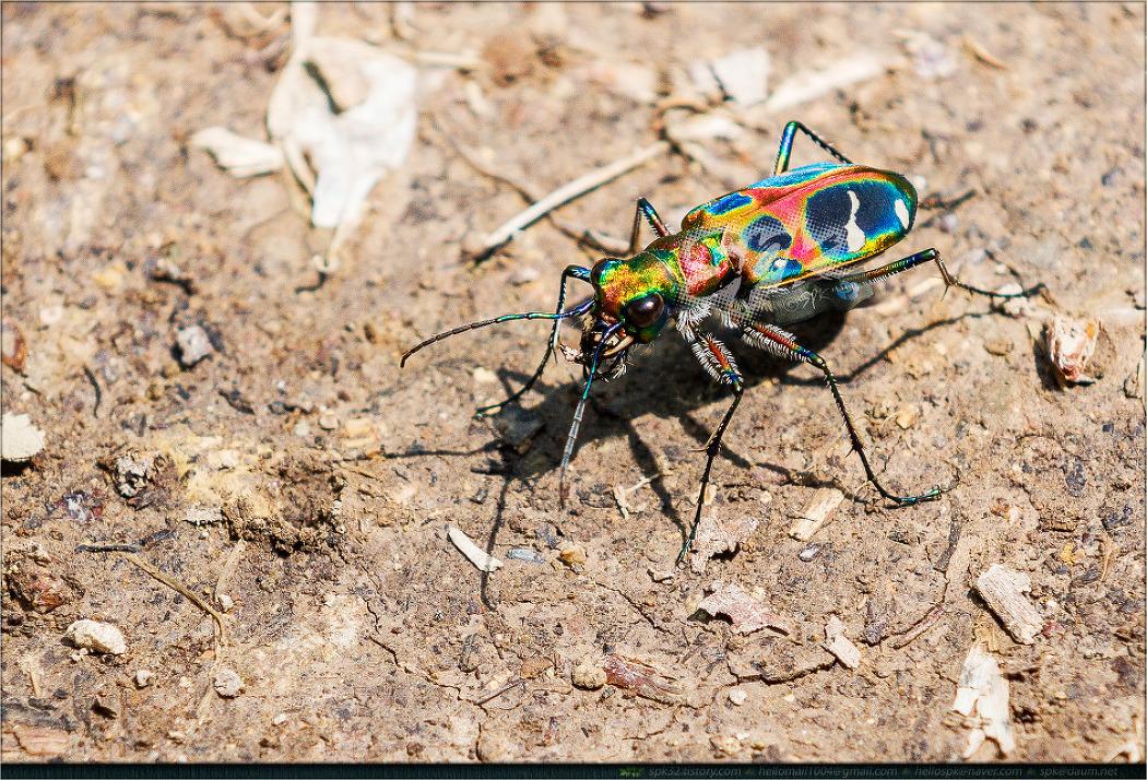곤충 - 35 (메뚜기, 길앞잡이, 꽃매미, 꽃등에, 쉬파리, 금파리)