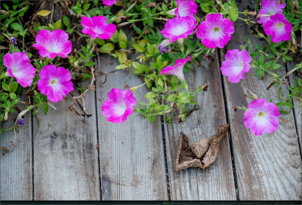 꽃 - 95 (선씀바귀, 페튜니아, 파파야)