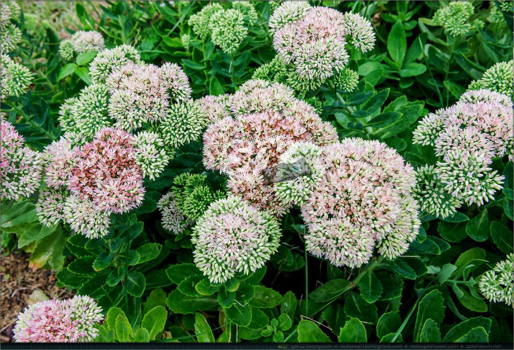 꽃 - 90 (큰꿩의 비름, 부겐베리아, 안젤로니아, 옥잠화, 여주, 봉선화, 배초향)