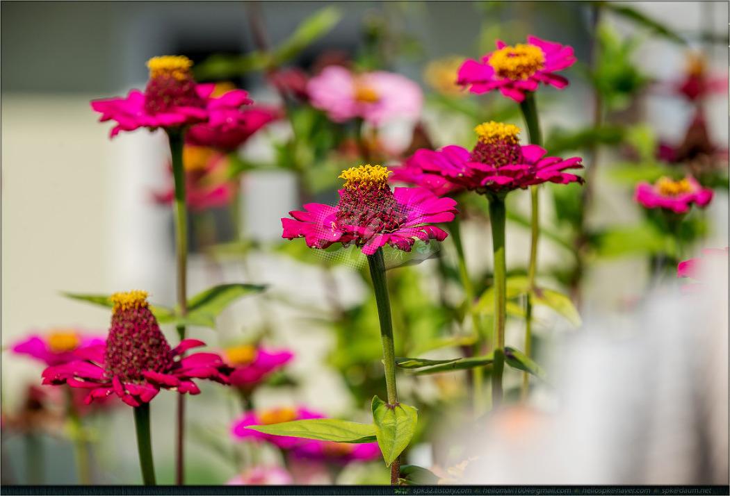꽃 - 89 (코스모스, 백일홍)