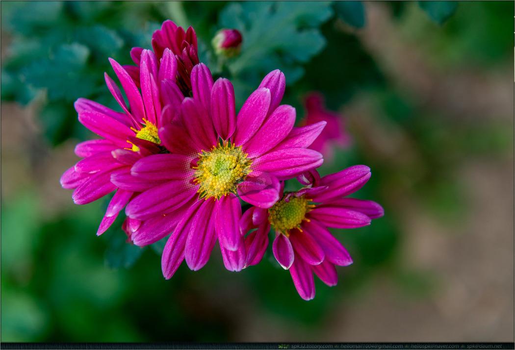 꽃 - 92 (국화, 사피니아, 천일홍, 아게라툼)