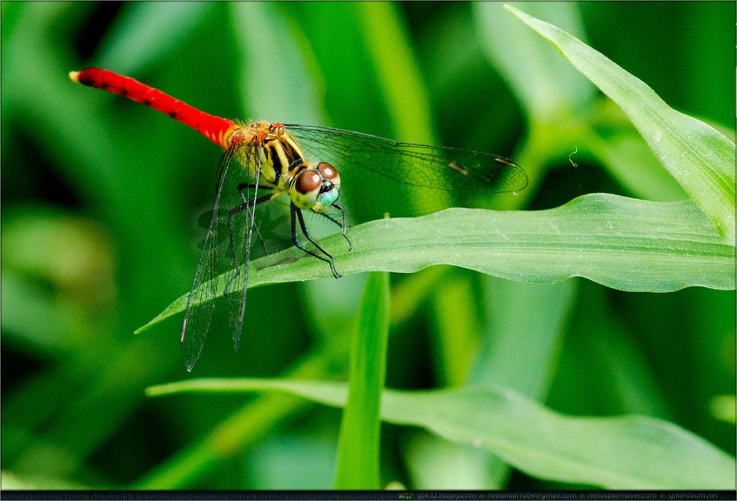 곤충 - 34 (잠자리)