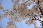 벚꽃 피는 봄