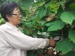 [포도수확]자연재배 실미원포도를 수확했습니다