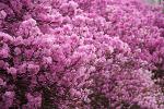 봄의 진달래