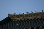지붕위 비둘기!
