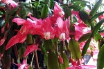 개발이 아닌 게발선인장에 붉은 꽃이 피었다.