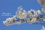 벚꽃놀이....출사....