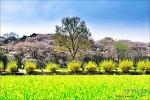 벚꽃과 유채밭..