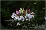[2009.08.14 (금) 맑음] 족두리꽃 - 제주의 야생화