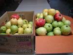 2012. 9. 5일 부터 구아바 과일을 수확하기 시작하였습니다. 한국구아바 경원농장/구아바약목원