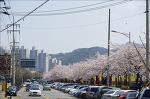 안양 충훈 벚꽃축제 - 가족 소풍~