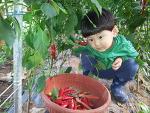 꼬마농부 기훈이의 농사체험(고추따기 3번째)