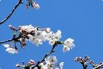 봄날, 20년 마당 벚나무와 이별을 아쉬워하며..