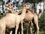 낙타와 거리의 아이들
