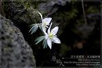 [2009.02.28 (토) 맑음] 변산바람꽃 - 제주의 야생화