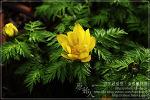[2009.02.25 (수) 맑음] 복수초 - 제주의 야생화