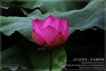 [2009.07.11 (토) 맑음] 연꽃 - 제주의 야생화