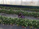 청원 왕대박딸기 농장에 다녀왔어요..