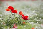 울산 태화강 공원의 양귀비 안개꽃 그리고 보리