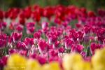 튤립과 유채꽃들... 양산천에서