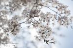 온천천의 벚꽃