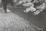 4월의 문래공원 벚꽃샷(흑백필름 by Pentax SuperProgram)