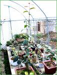 극황무늬 동백나무 무늬종 - 청풍분재야생화