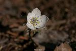 변산바람꽃+노루귀
