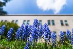 무스카리 / Tassel Hyacinth