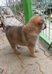 [분양완료] 울프독(늑대개) 강아지 분양합니다