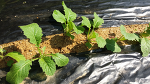 가을 청갓재배(파종,발아,수확시기,심는 방법,솎아주기)