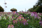 [올림픽공원 / 들꽃마루 / 핑크뮬리] 올림픽공원 들꽃마루, 풍접초 언덕 # 핫 플레이스, 핑크뮬리 # 몽촌토성 2018
