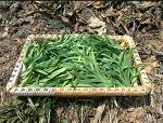 원추리(잎,꽃,뿌리) 효능과 독성